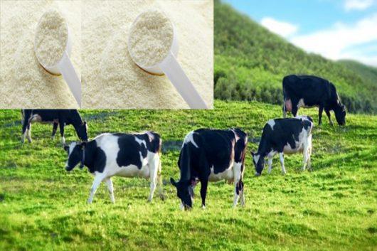 Sữa bò non - Nguồn dinh dưỡng thiết yếu cho các gia đình