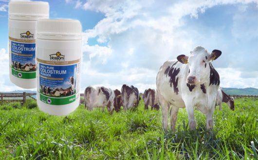Sữa bò non Blossom nổi tiếng tại các thị trường quốc tế