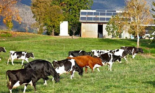 Trang trại bò sữa tại Úc