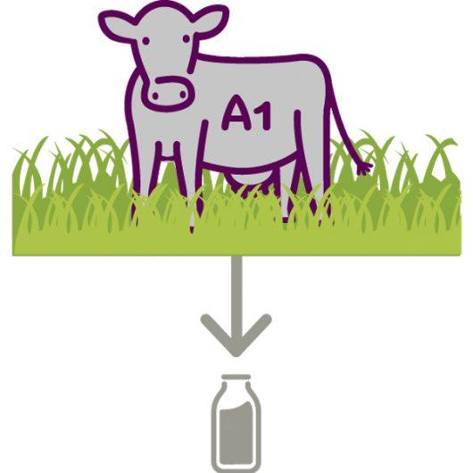 Phần lớn các dòng sữa hiện nay đều chứa Protein A1 gây dị ứng và táo bón ở trẻ